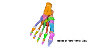 Foot Planter view. The phalanges are the bones that make up the fingers of the hand and the toes of the foot. There are 56 phalanges in the human body, with royalty free stock photos