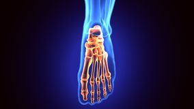 3d illustration of human body feet bone Royalty Free Stock Photos