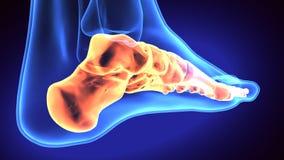 3d illustration of human body feet bone Royalty Free Stock Photography
