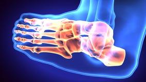 3d illustration of human body feet bone Royalty Free Stock Image