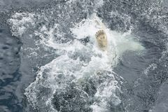 Foot of polar bear swimming in the water. View of foot of polar bear swimming in the water stock photography