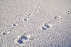 Foot Prints of a Man and a Dog on Snow Field Stock Photography