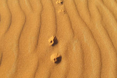 Foot prints of a small fox on sand Royalty Free Stock Image