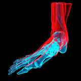 Foot X-ray royalty free illustration