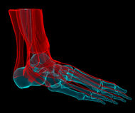 Foot X-ray. 3D illustration of a foot with bones and tendons vector illustration