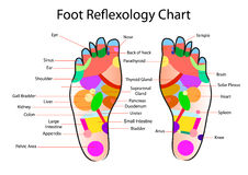 Foot reflexology chart. With accurate description of the corresponding internal organs and body parts vector illustration