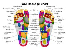 Foot reflexology chart with description of the internal organs and body parts. Vector illustration . anatomy Royalty Free Stock Photo