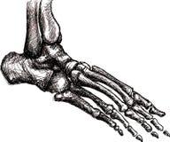 Foot skeleton anatomy. Pen drawing of foot anatomy bones Stock Photo