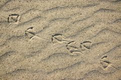 Foot traces of seagulls in the sand. Background with beige fine sand. Sand surface on the beach, view from above. Sandy structure outdoors on a sunrise time Royalty Free Stock Photo