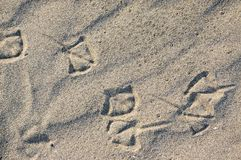 Foot traces of seagulls in the sand. Background with beige fine sand. Sand surface on the beach, view from above. Sandy structure outdoors on a sunrise time Stock Photography
