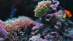 Footage Anemonia sulcata, Beadlet anemone actinia. Beadlet anemone actinia equina on coral reefs underwater. Footage of anemonia snakelocks sulcata stock video footage