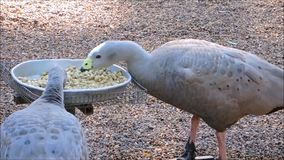 A footage of Cape barren goose Cereopsis novaehollandiae eating some food from a tray. The footage of Cape barren goose Cereopsis novaehollandiae eating some stock footage