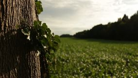 Footage of a close up of ivy leaves on a tree with vineyard in the background. Somewhere in the French province. stock footage