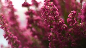 Footage Erica gracilis- winter heather in full blossom stock video