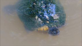 The Footage of freshwater turtle swimming in a water pond. stock video footage