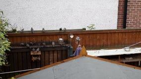 Footage of Garden Birds Feeding. Footage of Garden Birds Frantic Feeding Frenzy with Lowered Ambient Sound stock video