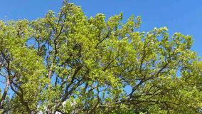 Green Tree Moving in the Wind. Footage of a green tree movind in the wind against a blue sky stock video footage