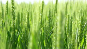 Footage of green wheat stock footage