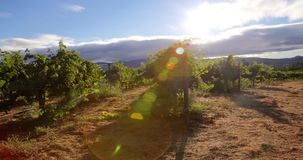 Grapevines in Morning Sunlight stock video footage