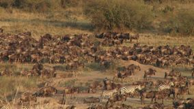 Annual great migration in Kenya stock video footage