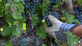 Harvesting Ripe Cabernet Grape Clusters stock video