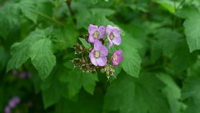 Footage of purple-flowered raspberry moving in the wind stock video footage