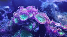 Footage of sea bottom, coral reefs, swimming fish and Button zoanthids stock video footage