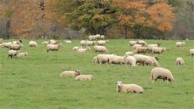 Sheep stock video