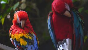 Two macaw parrots. This footage shows two macaw parrots in the zoo stock video footage