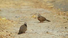 Footage of spotted doves are standing. On the ground stock footage