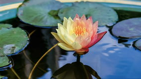 Footage time lapse opening of waterlily. Lotus flower is blooming.