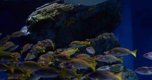 Tropical reef fish, batoidea and aquatic plants in aquarium. The footage of tropical reef fish, batoidea and aquatic plants in aquarium stock video footage