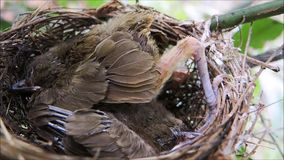 A footage of two Brown haired sparrow baby bird sleeping in its nest at a garden in Thailand. stock footage