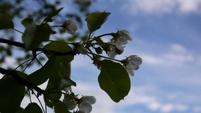 Footage of white apple blossom close up blue sky background by spring soft breeze moving branches. Static camera stock footage