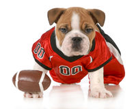 Football dog Royalty Free Stock Photo