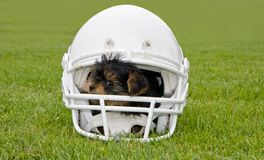Football helmet and Yorkshire Terrier Pup. Yorkshire Terrier baby dog inside football helmet Royalty Free Stock Photography