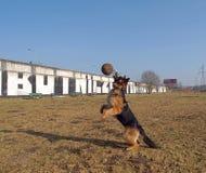 Football shepherd. Royalty Free Stock Image