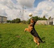 Football shepherd. Stock Photo