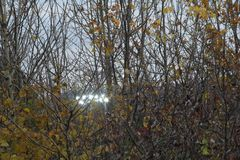 Floodlit Forest. Football stadium Floodlights shine through an Autumn tree with yellow leaves royalty free stock image