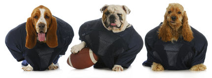 Football team. Three dogs dressed up like football players Stock Image