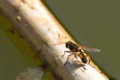 The footballer hoverfly  (Helophilus pendulus) Stock Images