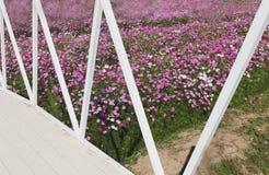 footbridge and beautiful pink cosmos flower field Stock Image