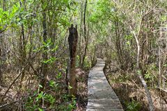 Boardwalk part of Mastic Trail, Grand Cayman Island Royalty Free Stock Photography