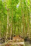 Footbridge at mangrove forest. Royalty Free Stock Image