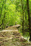 Footbridge at mangrove forest. Royalty Free Stock Photo