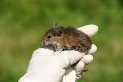 footed белизна мыши Стоковые Изображения
