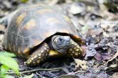 footed желтый цвет черепахи Стоковые Изображения RF