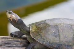Footed черепаха в боливийских джунглях в Rurrenabaque, Боливии Стоковые Изображения