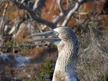 footed blå booby Royaltyfri Fotografi