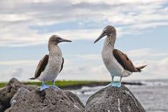 footed blå booby Arkivfoton